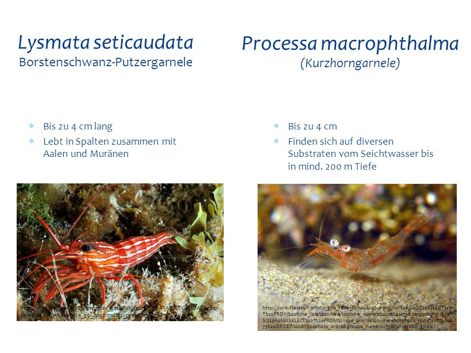  Bis zu 4 cm lang  Lebt in Spalten zusammen mit Aalen und Muränen Lysmata seticaudata Borstenschwanz-Putzergarnele http://laups.org/gallery2/v/membe