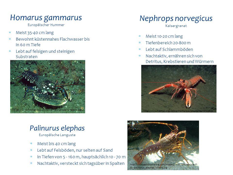  Meist 35-40 cm lang  Bewohnt küstennahes Flachwasser bis in 60 m Tiefe  Lebt auf felsigen und steinigen Substraten Homarus gammarus Europäischer H