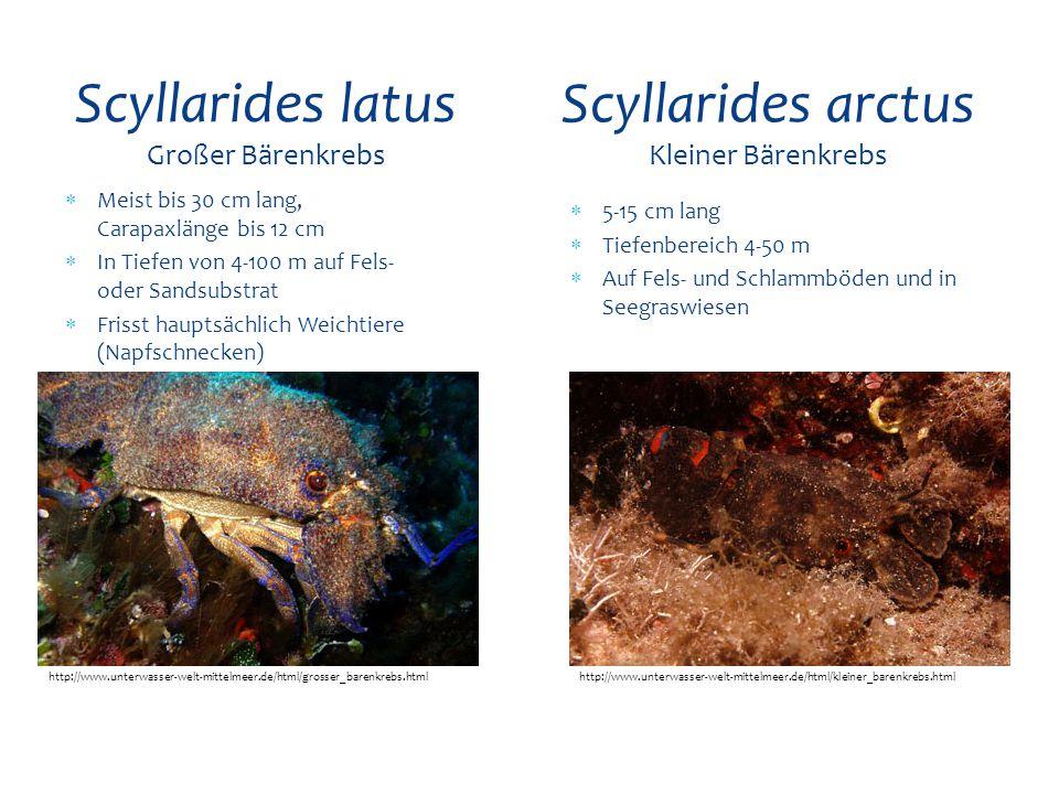  Meist bis 30 cm lang, Carapaxlänge bis 12 cm  In Tiefen von 4-100 m auf Fels- oder Sandsubstrat  Frisst hauptsächlich Weichtiere (Napfschnecken) S