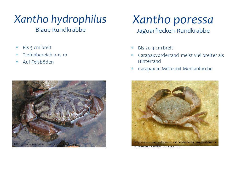  Bis 5 cm breit  Tiefenbereich 0-15 m  Auf Felsböden Xantho hydrophilus Blaue Rundkrabbe http://www.marlin.ac.uk/imgs/o_xaninc2.jpg Xantho poressa