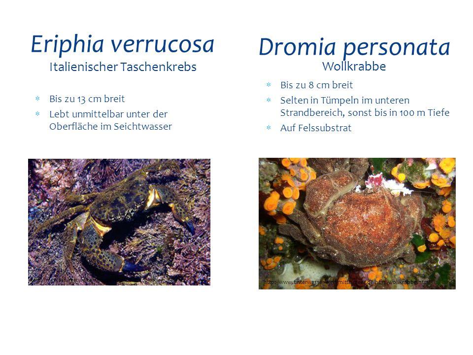  Bis zu 13 cm breit  Lebt unmittelbar unter der Oberfläche im Seichtwasser Eriphia verrucosa Italienischer Taschenkrebs http://www.asturnatura.com/I
