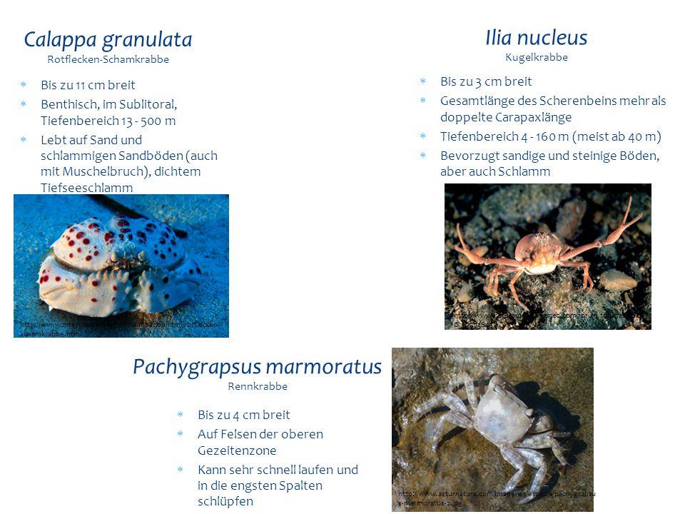  Bis zu 11 cm breit  Benthisch, im Sublitoral, Tiefenbereich 13 - 500 m  Lebt auf Sand und schlammigen Sandböden (auch mit Muschelbruch), dichtem T