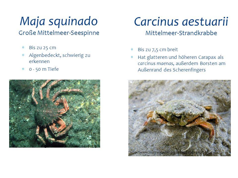  Bis zu 25 cm  Algenbedeckt, schwierig zu erkennen  0 - 50 m Tiefe Maja squinado Große Mittelmeer-Seespinne http://www.habitas.org.uk/marinelife/cr