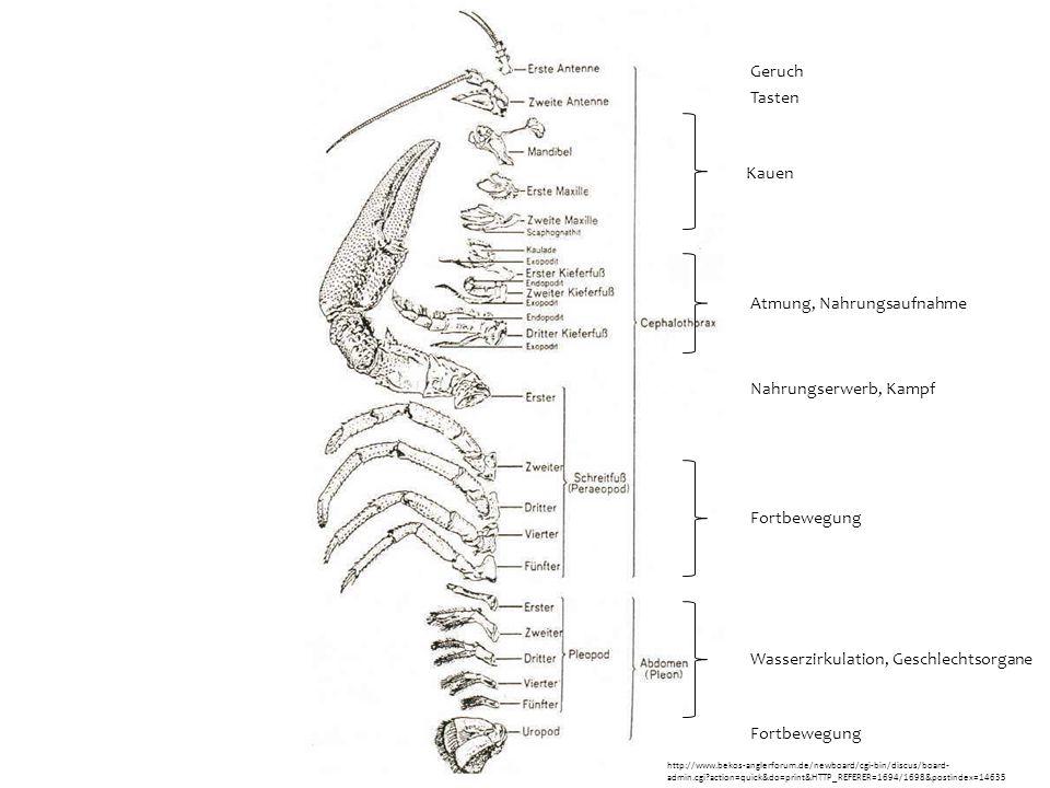  Kopfextremitäten  untergliederte Mandibeln + zwei Maxillenpaare  Vor den Mundwerkzeugen zwei Paar Antennen  Kopf verschmilzt meist mit einem oder mehreren Rumpfsegmenten  Cephalothorax  überdeckt von Carapax  Hinterleib (primäres Abdomen) immer frei von Extremitäten  Decapode Crustaceen besitzen fünf Kopfextremitätenpaare  Spaltbeine  haben sich zu Sinnesorganen, Greif- und Mundwerkzeugen, Schwimm- und Laufbeinen, Atmungs-, Kopulations- und Brutpflegeorganen entwickelt Anatomie