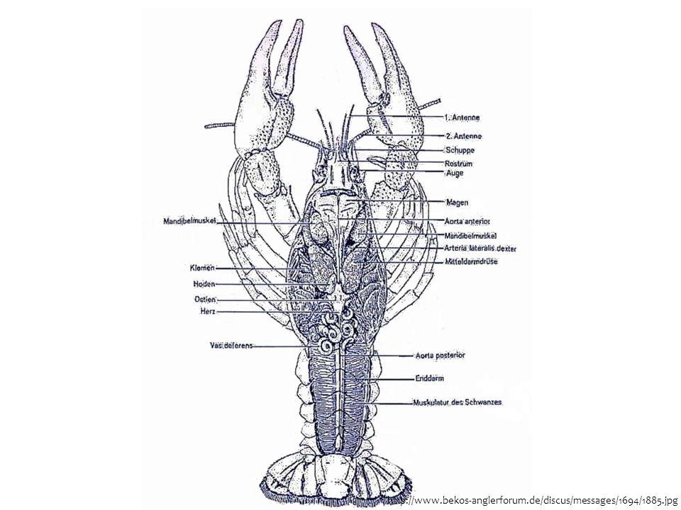  Höhere Krebse (Malacostraca) sind getrenntgeschlechtlich  Bei Hummern und Flusskrebsen transportiert Männchen bei der Kopulation Sperma mit spezialisierten paarigen Abdominalanhängen zur Geschlechtsöffnung des Weibchens  Entwicklung über verschiedene Larvalstadien und Metamorphosen (meistens leben diese Stadien planktonisch) Vermehrung
