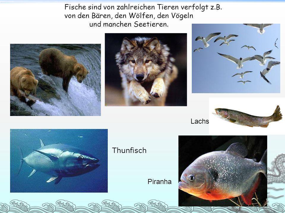 Fische sind von zahlreichen Tieren verfolgt z.B. von den Bären, den Wölfen, den Vögeln und manchen Seetieren. Thunfisch Lachs Piranha