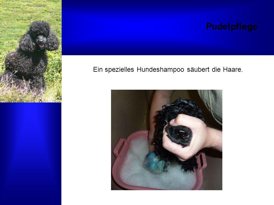 Pudelpflege Ein spezielles Hundeshampoo säubert die Haare.