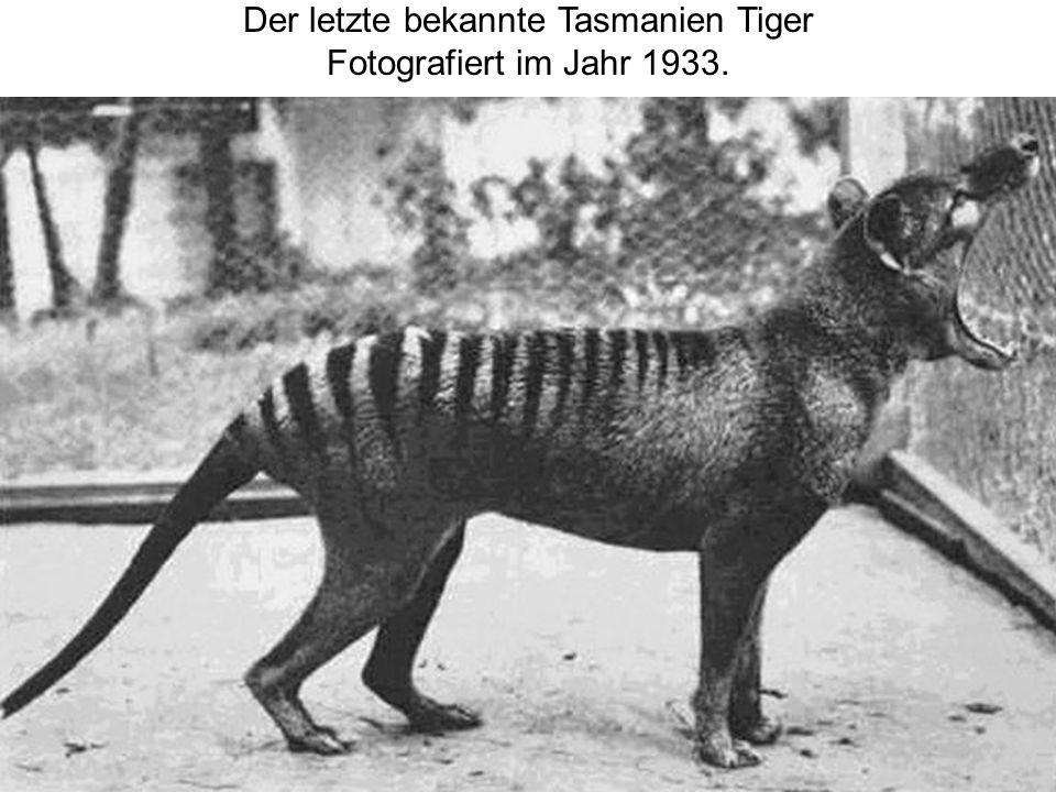 Der letzte bekannte Tasmanien Tiger Fotografiert im Jahr 1933.