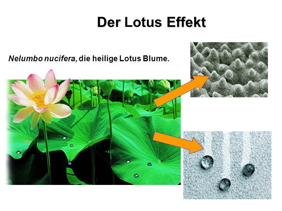 Nelumbo nucifera, die heilige Lotus Blume. Der Effekt Der Lotus Effekt