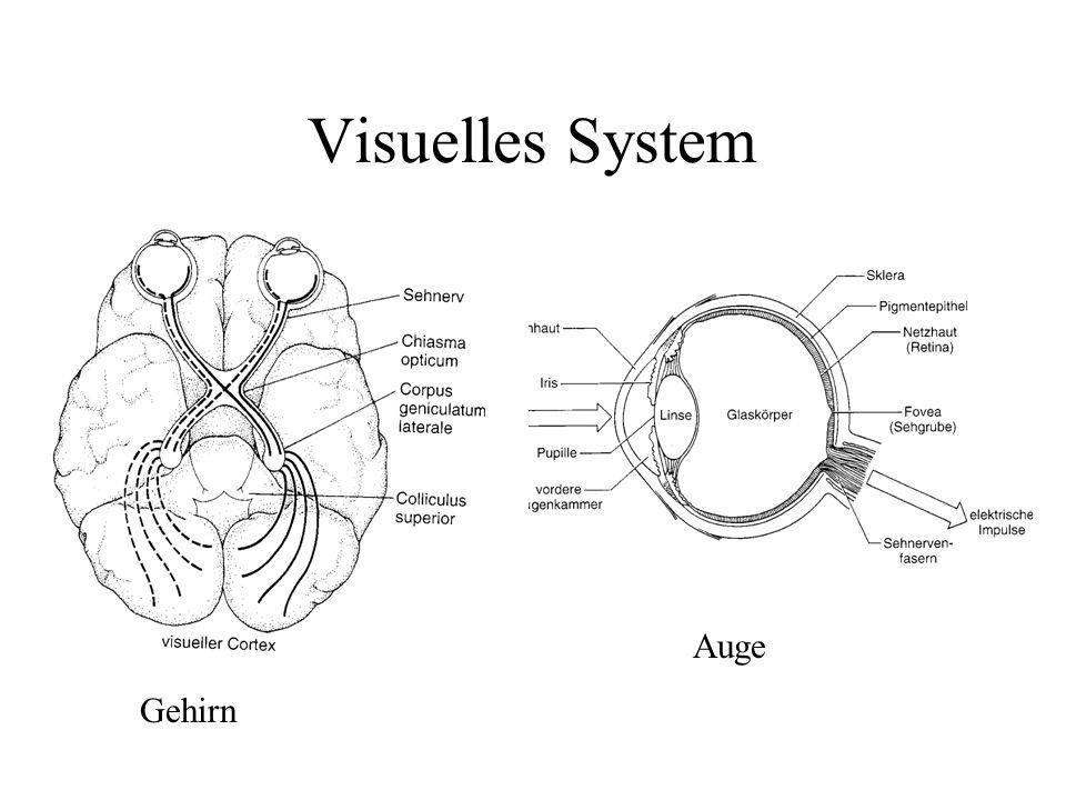 Visuelles System Gehirn Auge