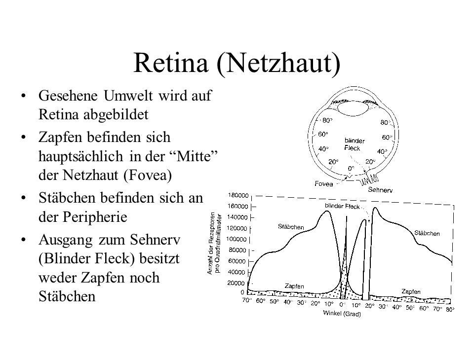 """Retina (Netzhaut) Gesehene Umwelt wird auf Retina abgebildet Zapfen befinden sich hauptsächlich in der """"Mitte"""" der Netzhaut (Fovea) Stäbchen befinden"""