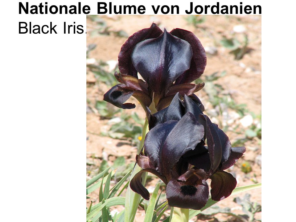 Nationale Blume von Jordanien Black Iris.