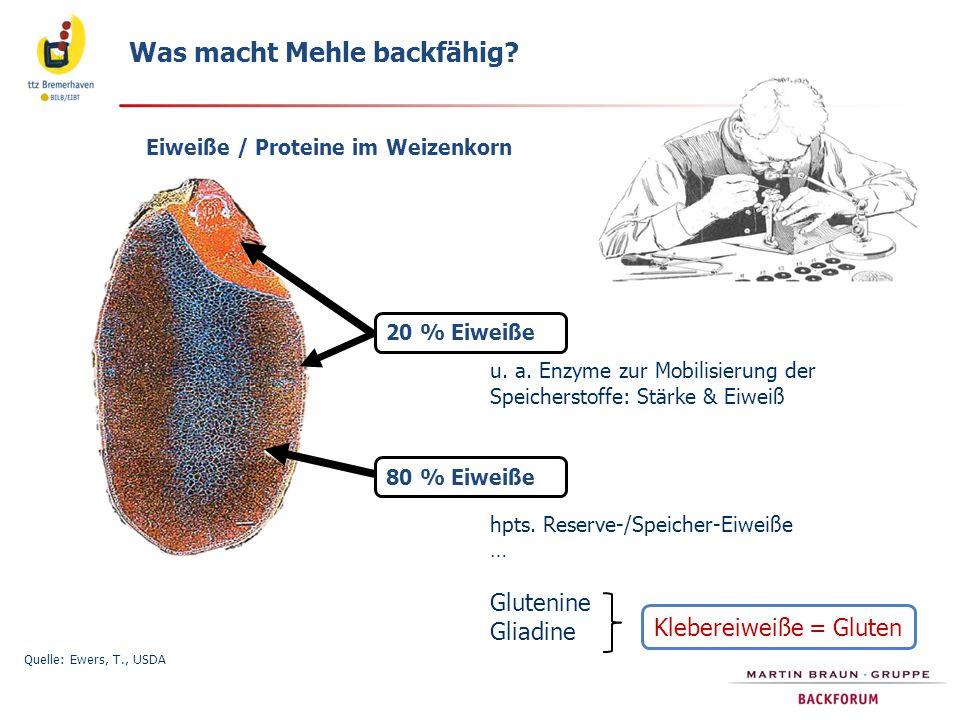 Was macht Mehle backfähig? Eiweiße / Proteine im Weizenkorn Quelle: Ewers, T., USDA 20 % Eiweiße 80 % Eiweiße u. a. Enzyme zur Mobilisierung der Speic