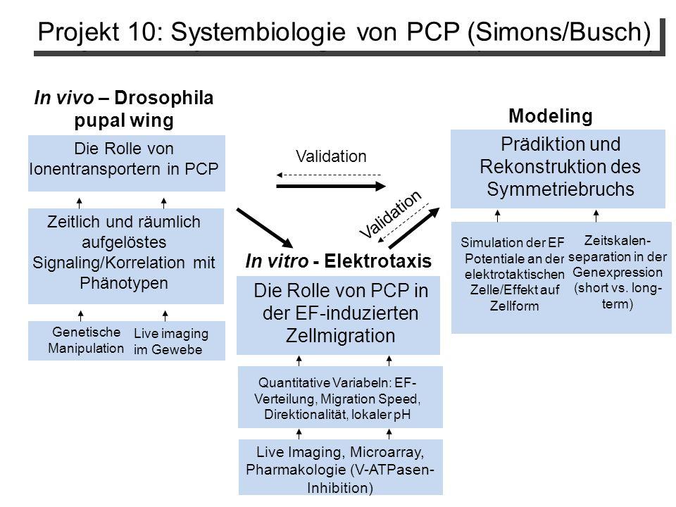 In vivo – Drosophila pupal wing In vitro - Elektrotaxis Zeitlich und räumlich aufgelöstes Signaling/Korrelation mit Phänotypen Die Rolle von PCP in der EF-induzierten Zellmigration Validation Modeling Projekt 10: Systembiologie von PCP (Simons/Busch) Prädiktion und Rekonstruktion des Symmetriebruchs Quantitative Variabeln: EF- Verteilung, Migration Speed, Direktionalität, lokaler pH Simulation der EF- Potentiale an der elektrotaktischen Zelle/Effekt auf Zellform Zeitskalen- separation in der Genexpression (short vs.