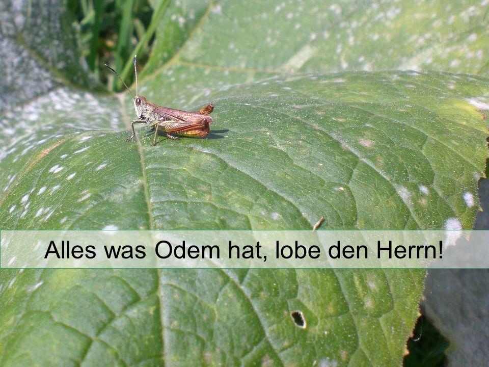 Alles was Odem hat, lobe den Herrn!