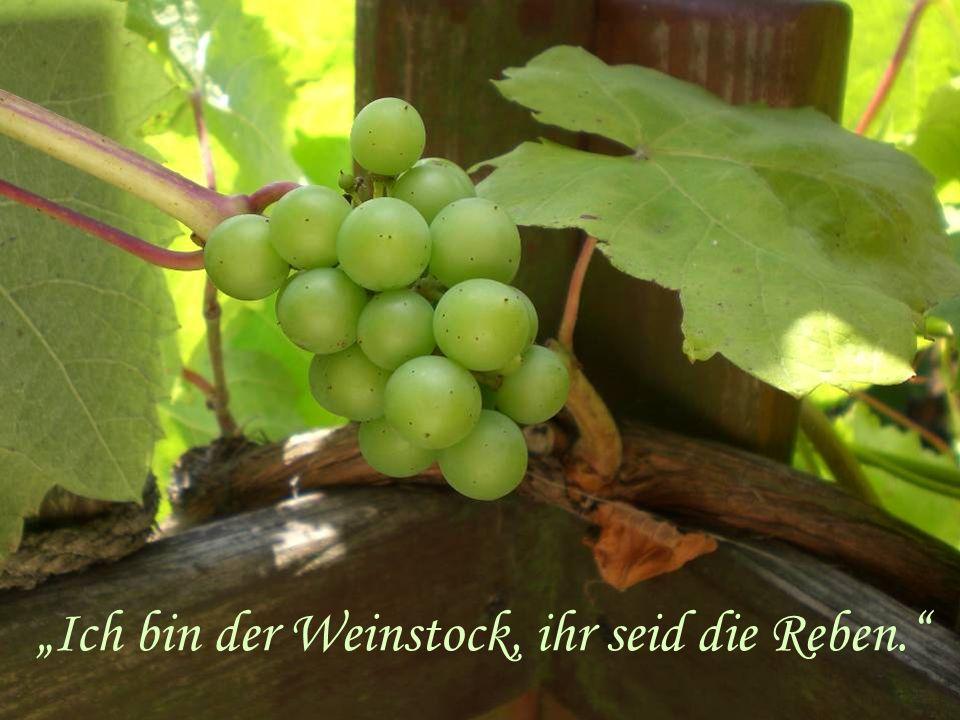 """""""Ich bin der Weinstock, ihr seid die Reben."""""""