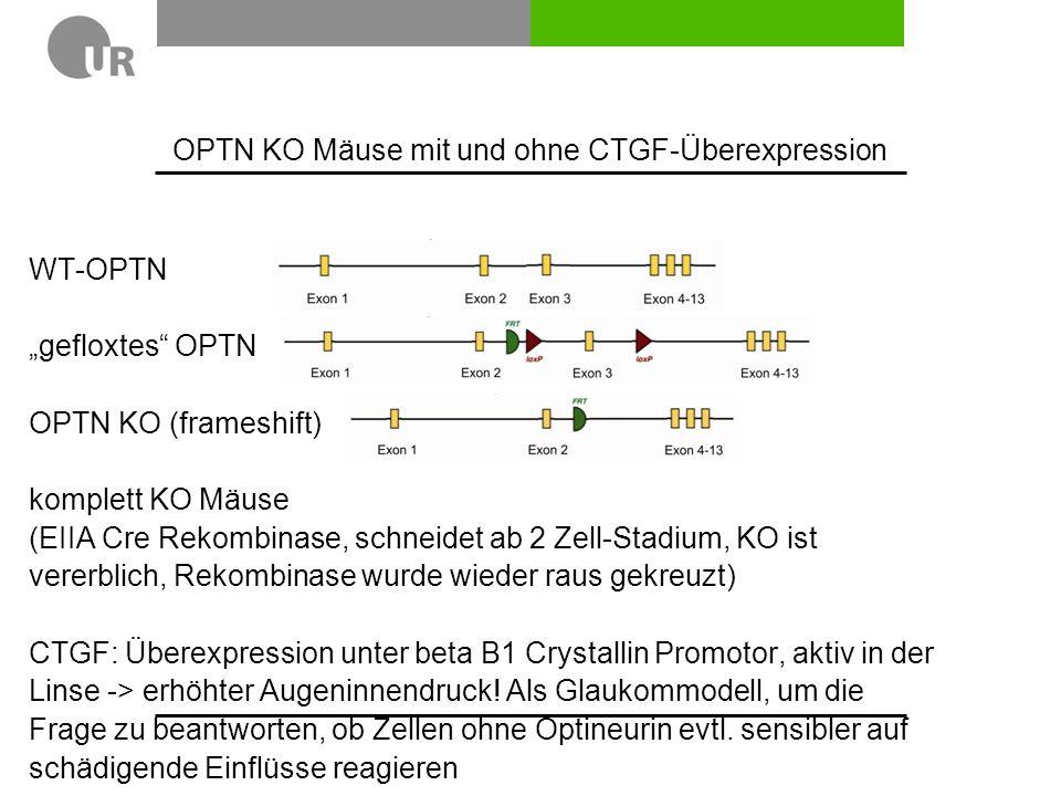 """WT-OPTN """"gefloxtes OPTN OPTN KO (frameshift) komplett KO Mäuse (EIIA Cre Rekombinase, schneidet ab 2 Zell-Stadium, KO ist vererblich, Rekombinase wurde wieder raus gekreuzt) CTGF: Überexpression unter beta B1 Crystallin Promotor, aktiv in der Linse -> erhöhter Augeninnendruck."""