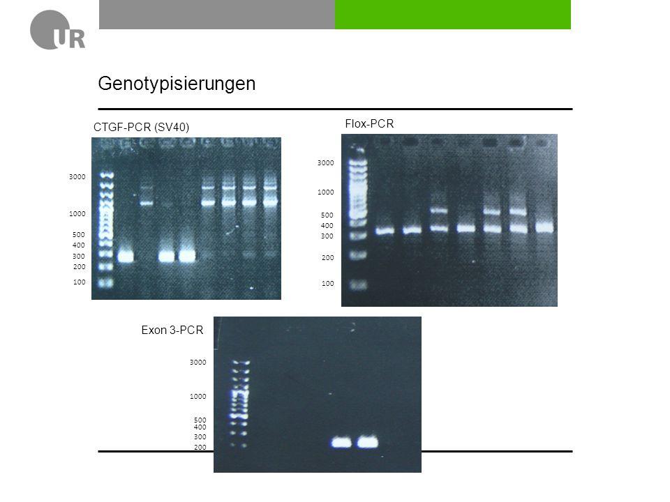 Genotypisierungen 200 300 400 500 1000 3000 100 200 300 400 500 1000 3000 100 200 300 400 500 1000 3000 CTGF-PCR (SV40) Flox-PCR Exon 3-PCR