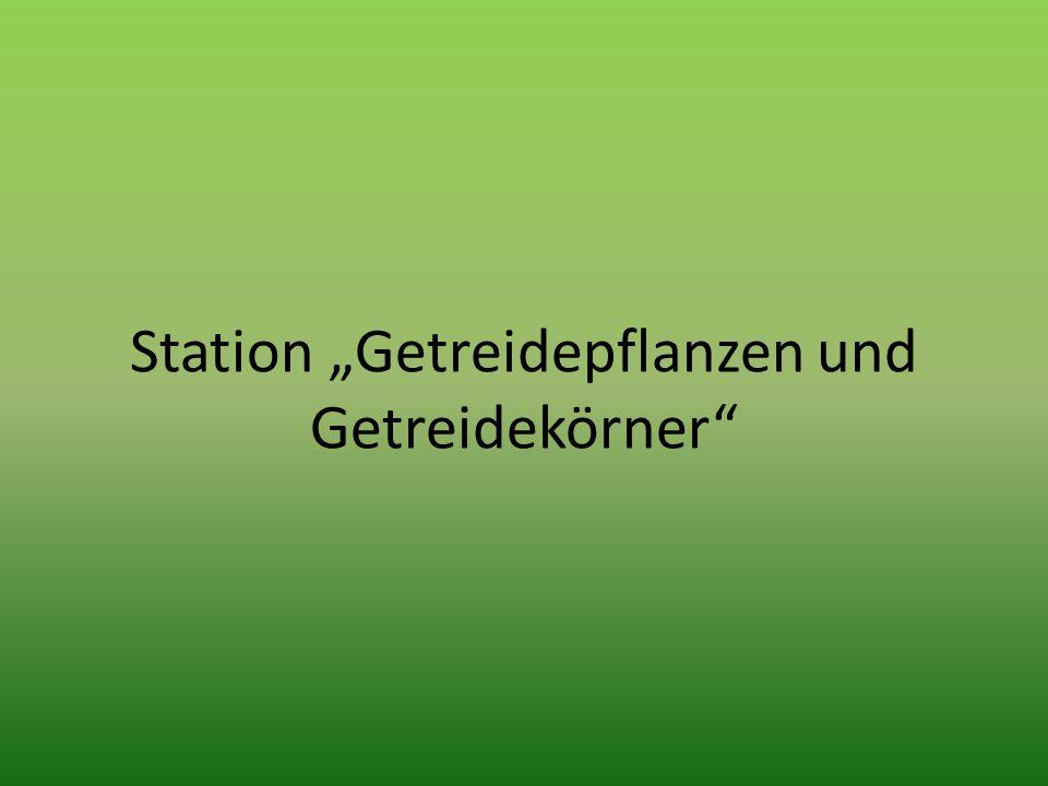 """Station """"Getreidepflanzen und Getreidekörner"""""""