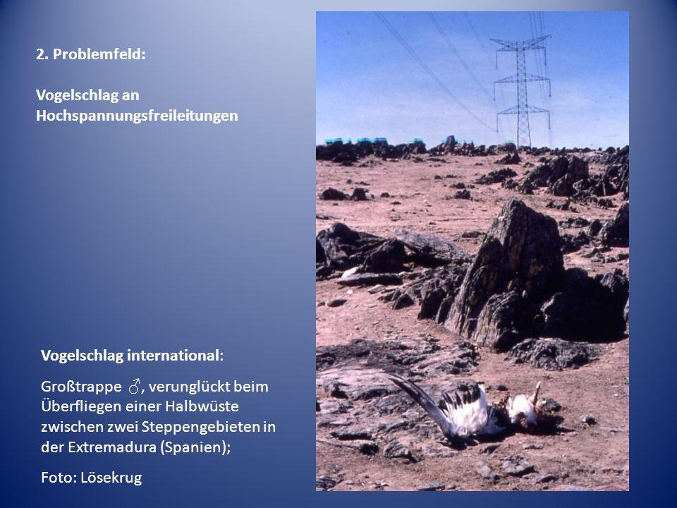 Vogelschlag international: Großtrappe ♂, verunglückt beim Überfliegen einer Halbwüste zwischen zwei Steppengebieten in der Extremadura (Spanien); Foto: Lösekrug 2.