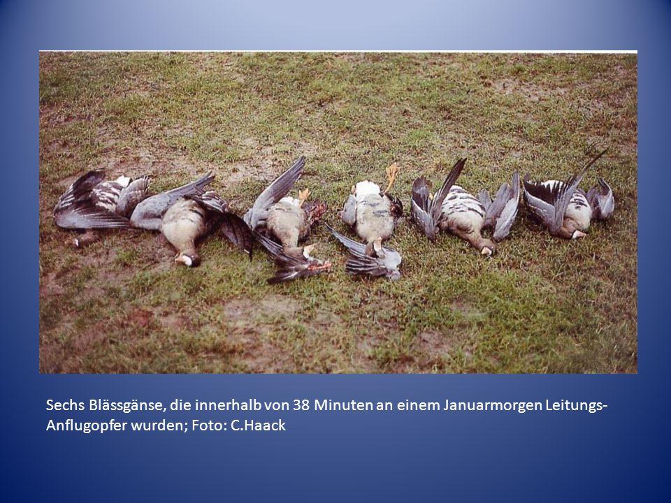 Sechs Blässgänse, die innerhalb von 38 Minuten an einem Januarmorgen Leitungs- Anflugopfer wurden; Foto: C.Haack