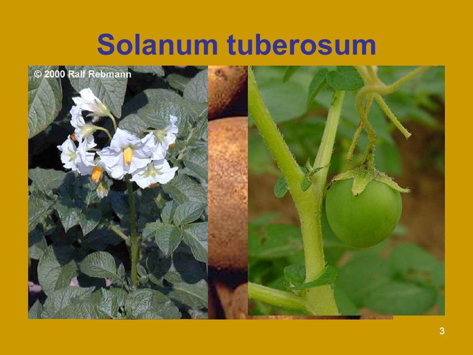 3 Solanum tuberosum