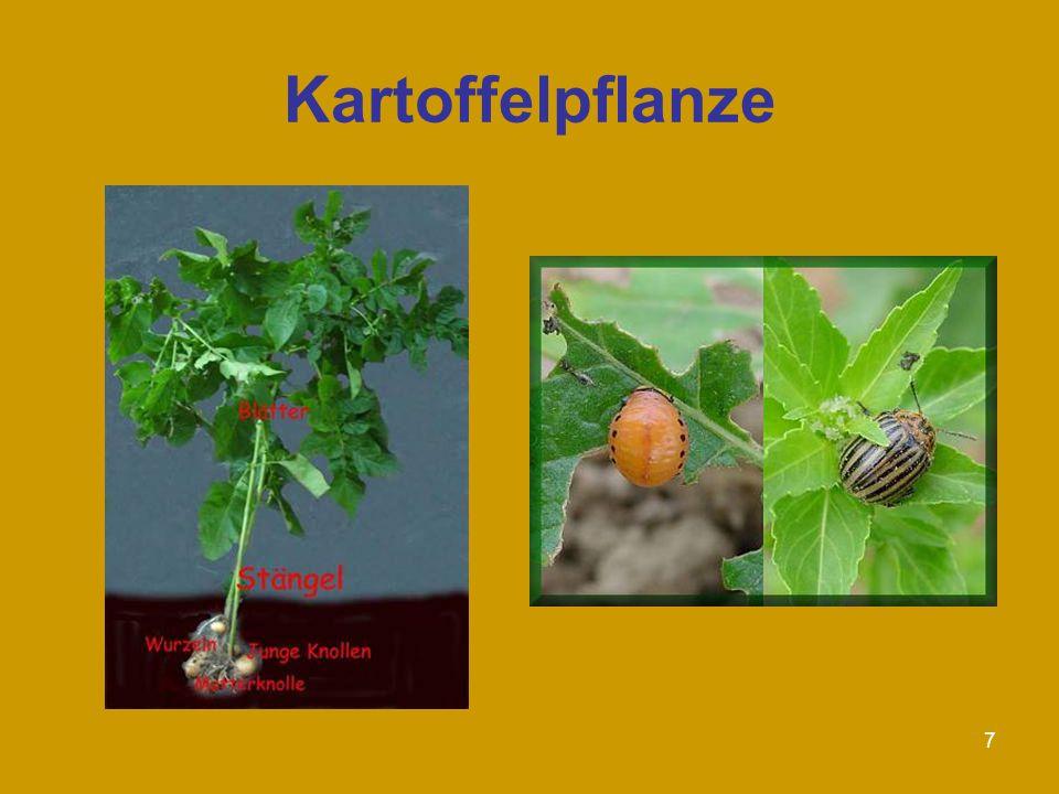 7 Kartoffelpflanze