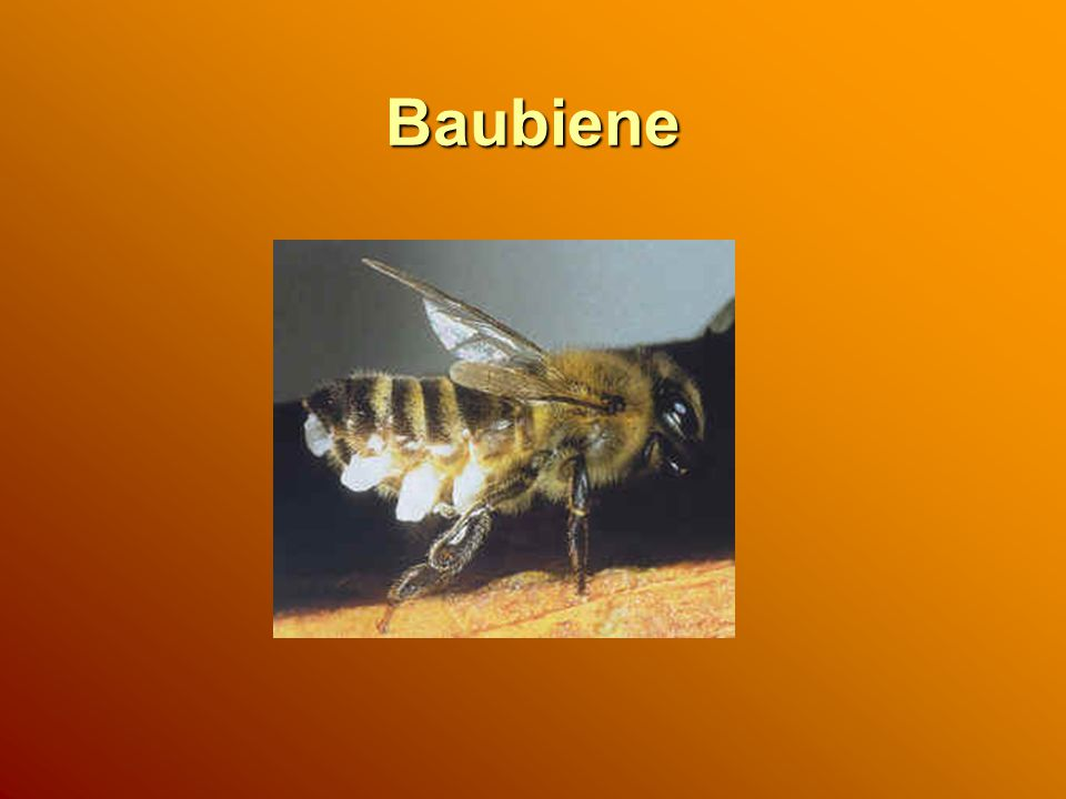Baubiene