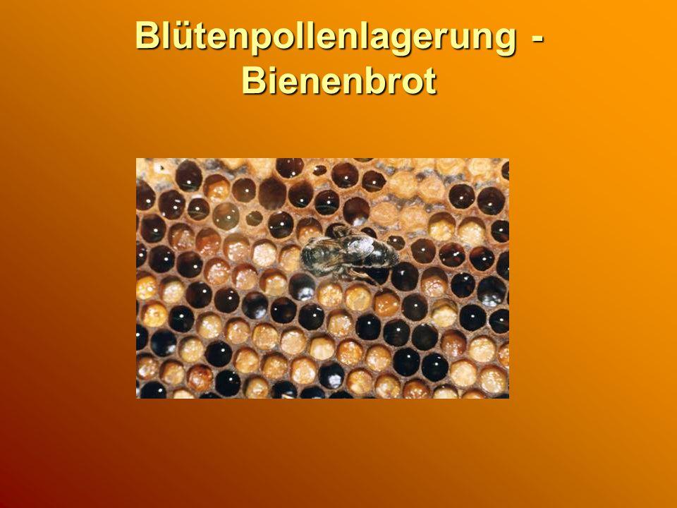 Blütenpollenlagerung - Bienenbrot