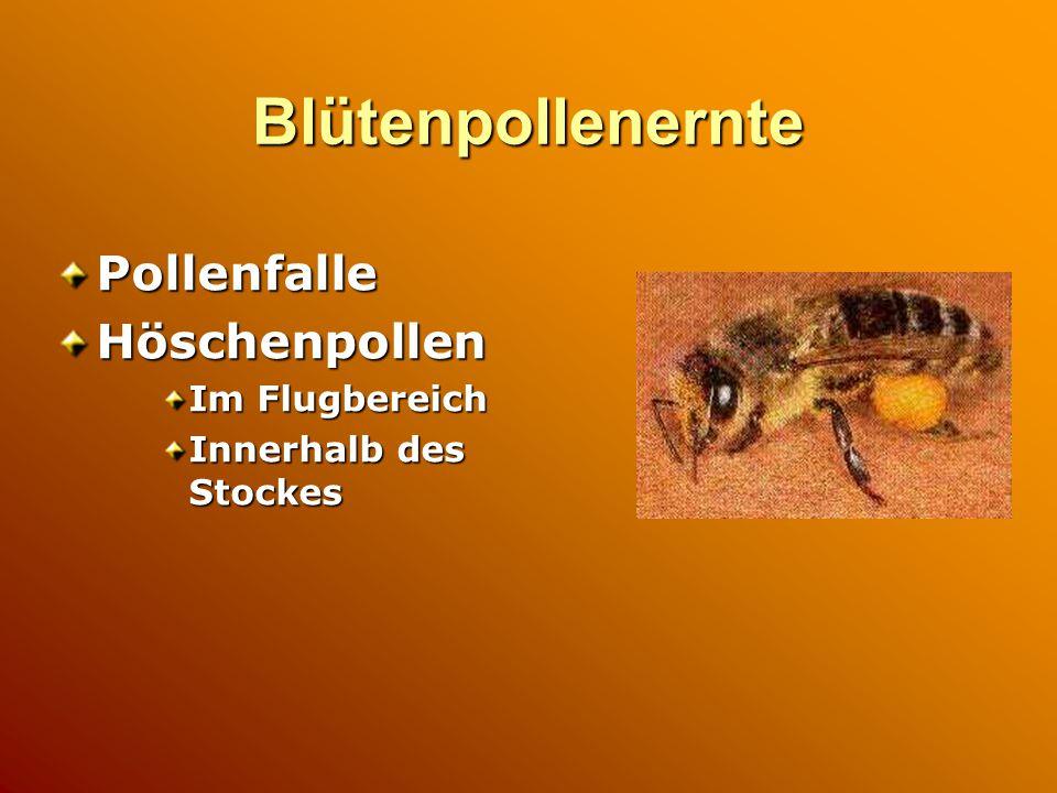 Blütenpollenernte PollenfalleHöschenpollen Im Flugbereich Innerhalb des Stockes