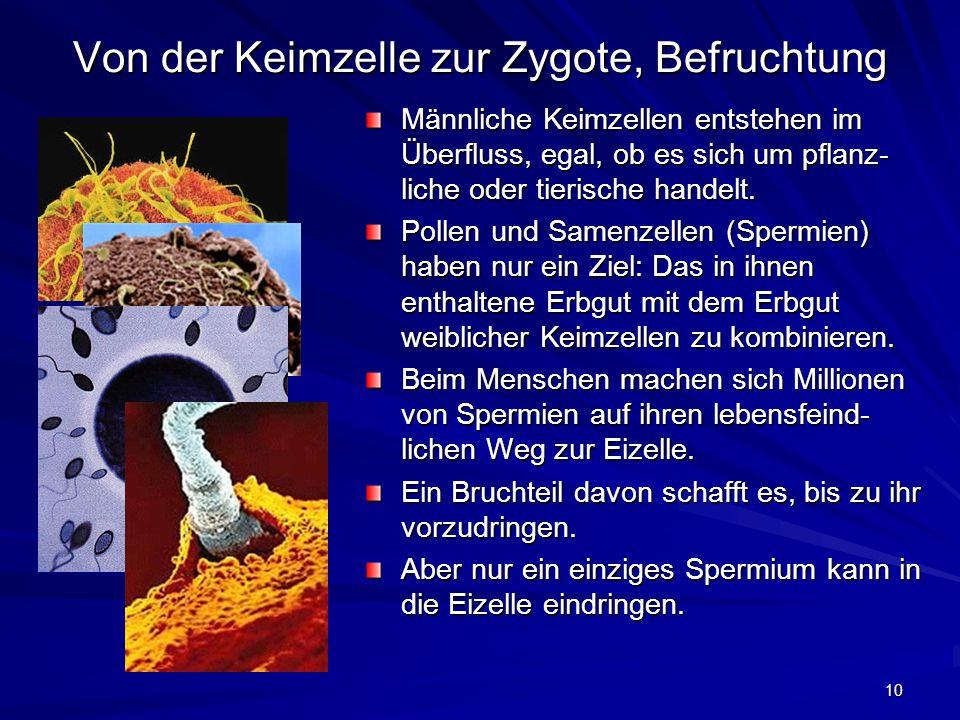 10 Von der Keimzelle zur Zygote, Befruchtung Männliche Keimzellen entstehen im Überfluss, egal, ob es sich um pflanz- liche oder tierische handelt. Po