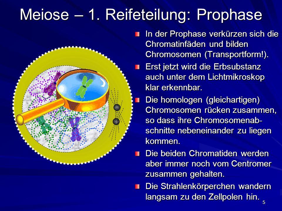 5 Meiose – 1. Reifeteilung: Prophase In der Prophase verkürzen sich die Chromatinfäden und bilden Chromosomen (Transportform!). Erst jetzt wird die Er
