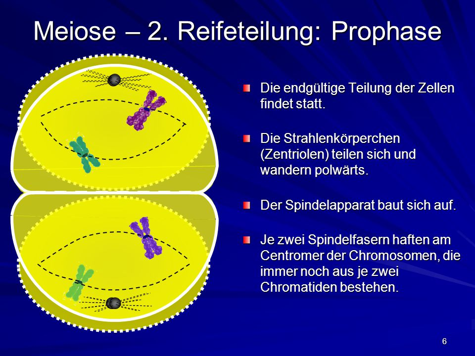 6 Meiose – 2. Reifeteilung: Prophase Die endgültige Teilung der Zellen findet statt. Die Strahlenkörperchen (Zentriolen) teilen sich und wandern polwä