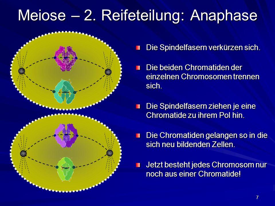 7 Meiose – 2. Reifeteilung: Anaphase Die Spindelfasern verkürzen sich. Die beiden Chromatiden der einzelnen Chromosomen trennen sich. Die Spindelfaser