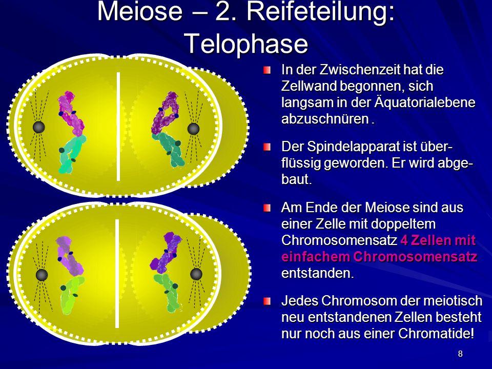 8 Meiose – 2. Reifeteilung: Telophase In der Zwischenzeit hat die Zellwand begonnen, sich langsam in der Äquatorialebene abzuschnüren. Der Spindelappa