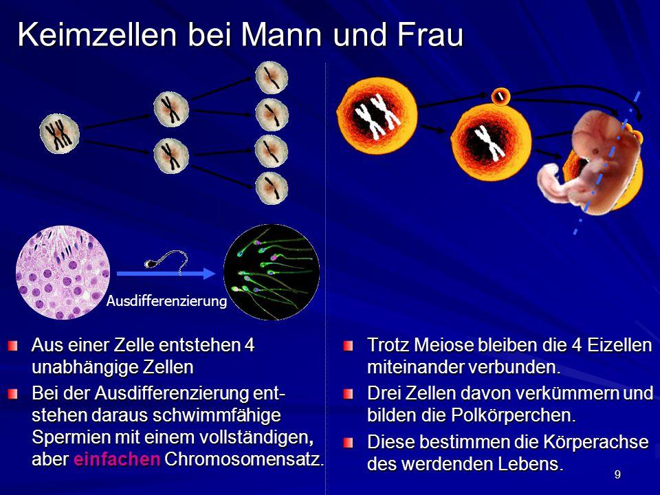 9 Keimzellen bei Mann und Frau Aus einer Zelle entstehen 4 unabhängige Zellen Bei der Ausdifferenzierung ent- stehen daraus schwimmfähige Spermien mit