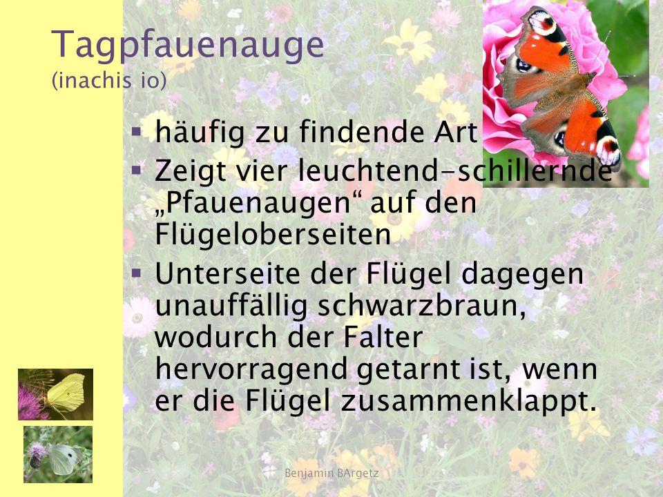 """Tagpfauenauge (inachis io)  häufig zu findende Art  Zeigt vier leuchtend-schillernde """"Pfauenaugen"""" auf den Flügeloberseiten  Unterseite der Flügel"""