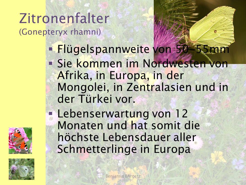Zitronenfalter (Gonepteryx rhamni)  Flügelspannweite von 50-55mm  Sie kommen im Nordwesten von Afrika, in Europa, in der Mongolei, in Zentralasien u