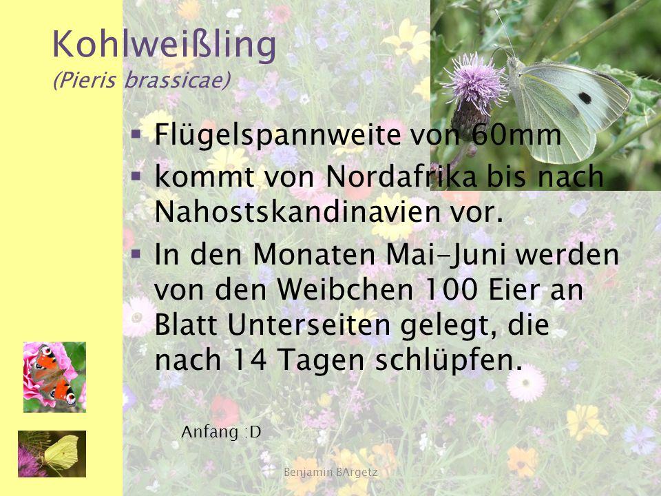 Kohlweißling (Pieris brassicae)  Flügelspannweite von 60mm  kommt von Nordafrika bis nach Nahostskandinavien vor.  In den Monaten Mai-Juni werden v
