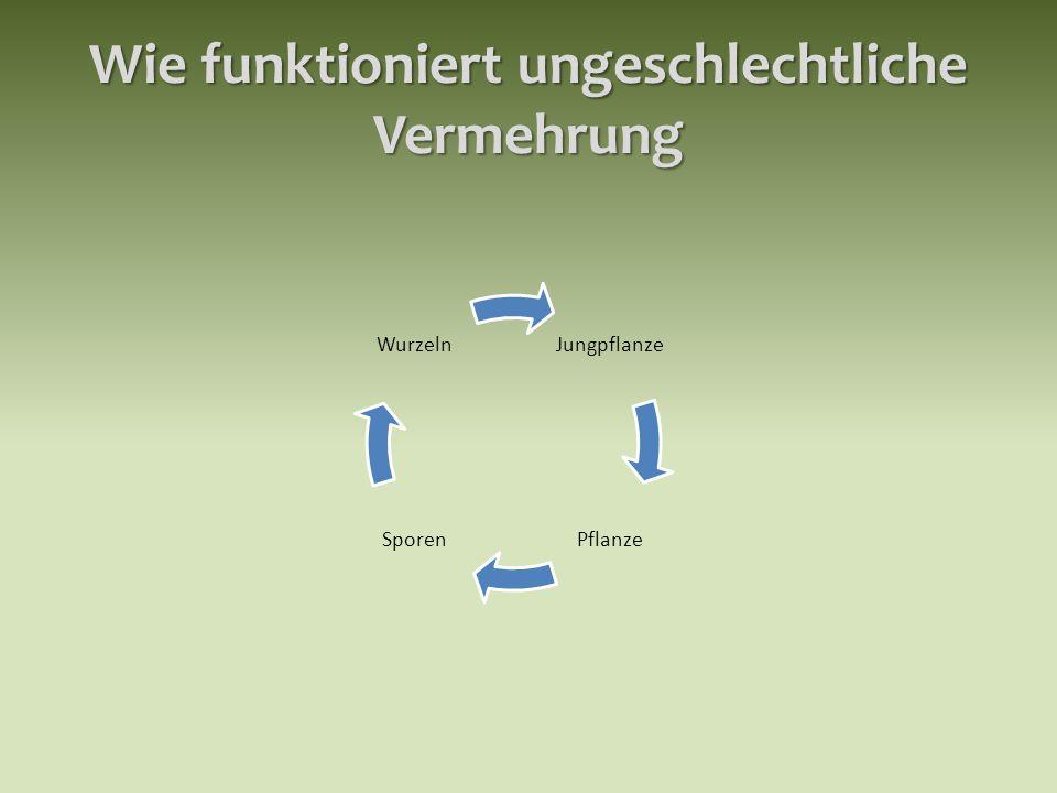 Wie funktioniert ungeschlechtliche Vermehrung Jungpflanze PflanzeSporen Wurzeln
