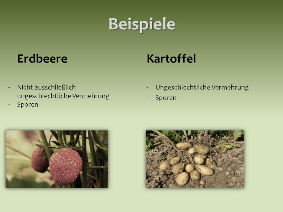 Beispiele ErdbeereKartoffel -Ungeschlechtliche Vermehrung -Sporen -Nicht ausschließlich ungeschlechtliche Vermehrung -Sporen