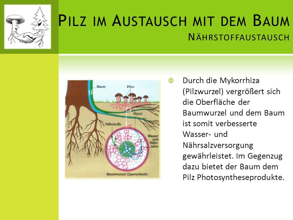P ILZ IM A USTAUSCH MIT DEM B AUM N ÄHRSTOFFAUSTAUSCH  Durch die Mykorrhiza (Pilzwurzel) vergrößert sich die Oberfläche der Baumwurzel und dem Baum i