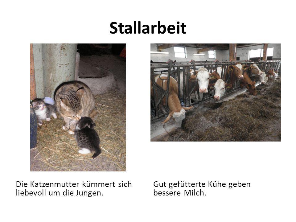Stallarbeit Die Katzenmutter kümmert sich liebevoll um die Jungen. Gut gefütterte Kühe geben bessere Milch.