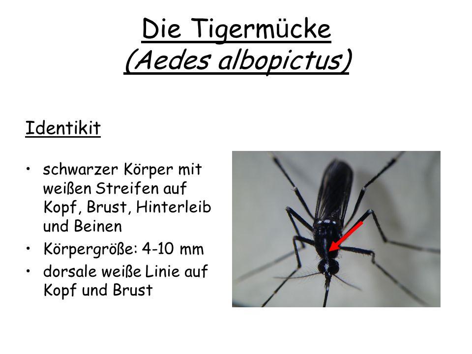 Die Tigerm ü cke (Aedes albopictus) Identikit schwarzer Körper mit weißen Streifen auf Kopf, Brust, Hinterleib und Beinen Körpergröße: 4-10 mm dorsale weiße Linie auf Kopf und Brust