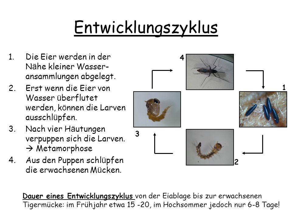 Entwicklungszyklus 1.Die Eier werden in der N ä he kleiner Wasser- ansammlungen abgelegt.