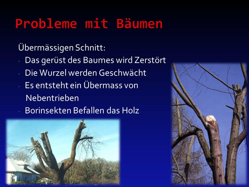 Übermässigen Schnitt: - Das gerüst des Baumes wird Zerstört - Die Wurzel werden Geschwächt - Es entsteht ein Übermass von Nebentrieben - Borinsekten B