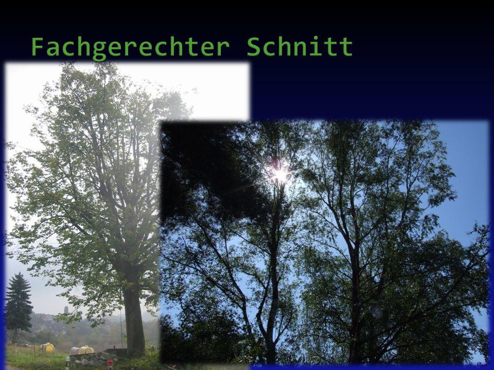  Korrektur- und Lichtraumprofilschnitt an Jungbäumen