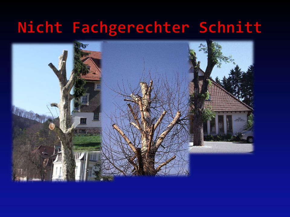 Übermässigen Schnitt: - Das gerüst des Baumes wird Zerstört - Die Wurzel werden Geschwächt - Es entsteht ein Übermass von Nebentrieben - Borinsekten Befallen das Holz