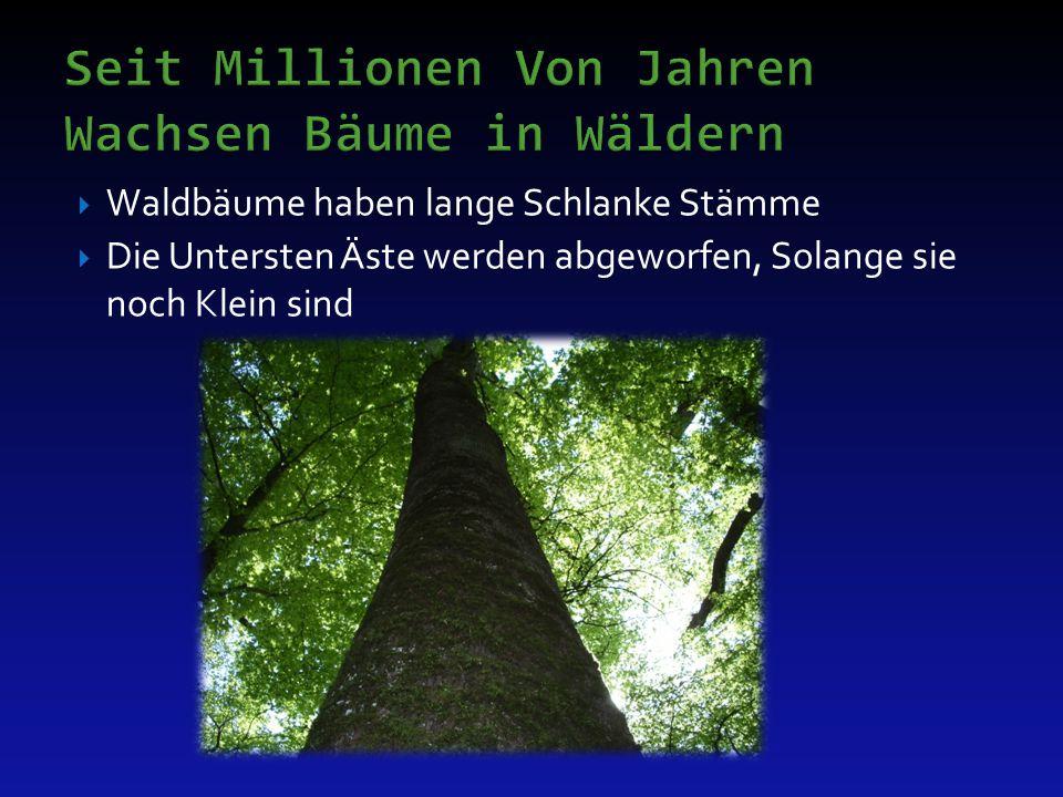  Bäume in der Stadt und im Urbanen Bereich haben meist kurze, kräftige Stämme und starke, tief sitzende Krone  Wir Haben den Wuchscharakter der Bäume verändert  Wir sind verantwortlich für ihre fachgerechte Pflege