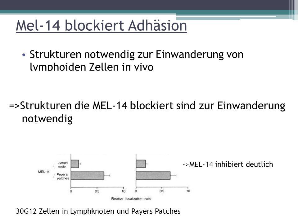 Mel-14 blockiert Adhäsion Strukturen notwendig zur Einwanderung von lymphoiden Zellen in vivo gekennzeichnete Lymphozyten intravenös in Empfänger ->MEL-14 inhibiert deutlich =>Strukturen die MEL-14 blockiert sind zur Einwanderung notwendig 30G12 Zellen in Lymphknoten und Payers Patches